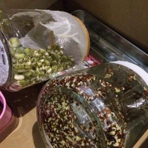 ブロッコリースプラウト スプラウト 栽培 ブロッコリーの芽 育て方 瓶 ジャー 私のスプラウト 栽培キット セット 種 容器