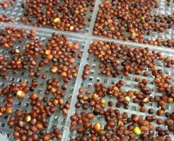 ブロッコリースプラウト 種 容器 通販 スプラウト 新芽 栽培キット