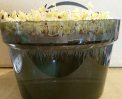 ブロッコリースプラウト 栽培 6日目 育て方 スプラウト 茎 根