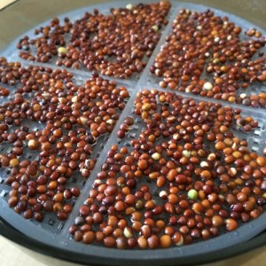 ブロッコリースプラウト 育て方 栽培 種 容器 1日 キッチン菜園 水耕栽培 発芽 スプラウト
