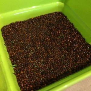 ブロッコリースプラウト 育て方 スプラウト スプラウトファーム 容器 ホームセンター トーホクの種 ブロッコリーの芽 かいわれブロッコリー