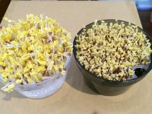 かいわれ大根 ブロッコリースプラウト かいわれ系スプラウト 育て方 スプラウト 栽培 違い 成長 栽培キット